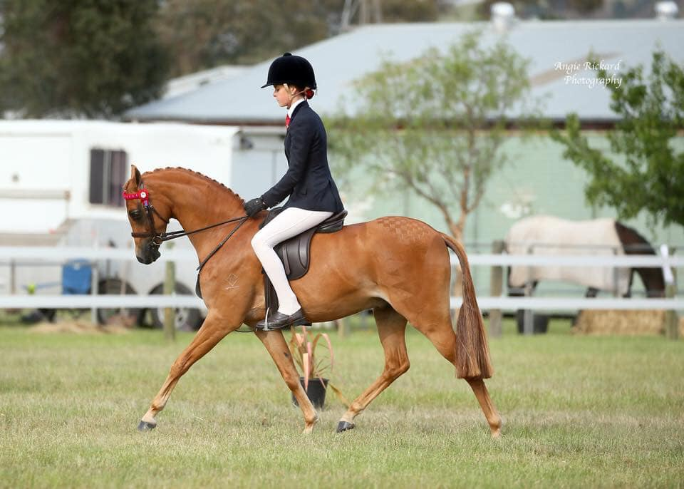 Royalwood Boy Soprano - Fairley Tranquility (imp) Champion Preliminary Large Pony NSW Country Hack Championships , 3rd Barastoc Newcomer pony, SHCV Classic Top 5 Large pony, Canberra Royal 2019 3rd Ridden Riding Pony