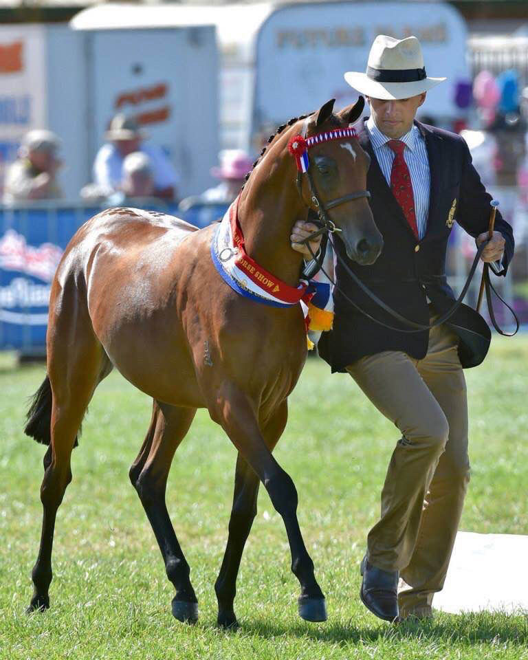 Champion Riding Pony Youngstock Gelding Royal Melbourne 2015