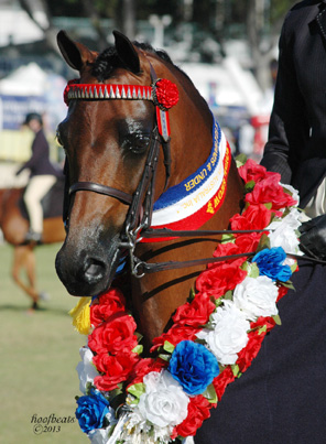 This delightful gelding owned by Jodee Hadley was Champion Small Pony Hack at Perth Royal 2013.