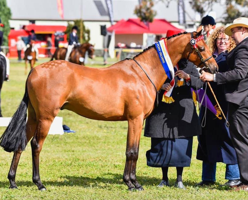 Dam: Mandaley Mona Lisa Sire Mandaley Lord Lichfield  Sold to Ellen Grant and shown by Stewie Robinson  Champion Open Led Pony Geelong Royal 2019