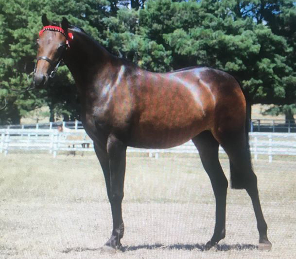 Beautifully bred mare out of Fairley Tranquility (imp) x Fernleigh Front Page. Extremely quiet and easy to do anything with. Only daughter I have out of this exquisite mare.