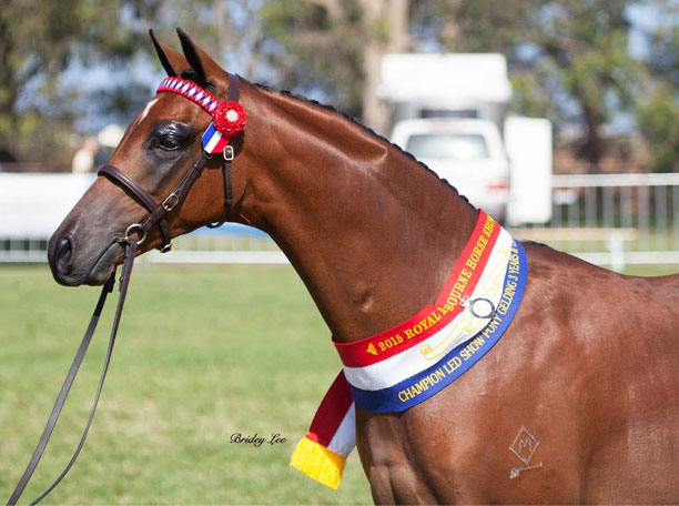 Champion Youngstock Riding Pony Gelding Melbourne Royal 2015